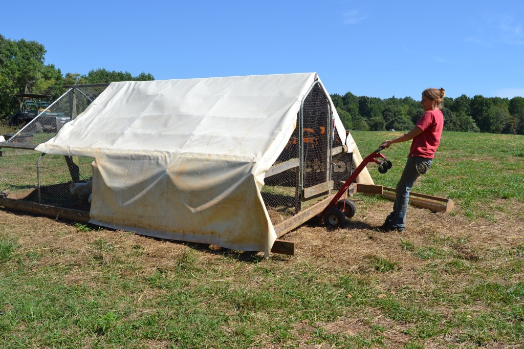 Suzanne Nelson moving chickens to fresh grass at Cozi Farms